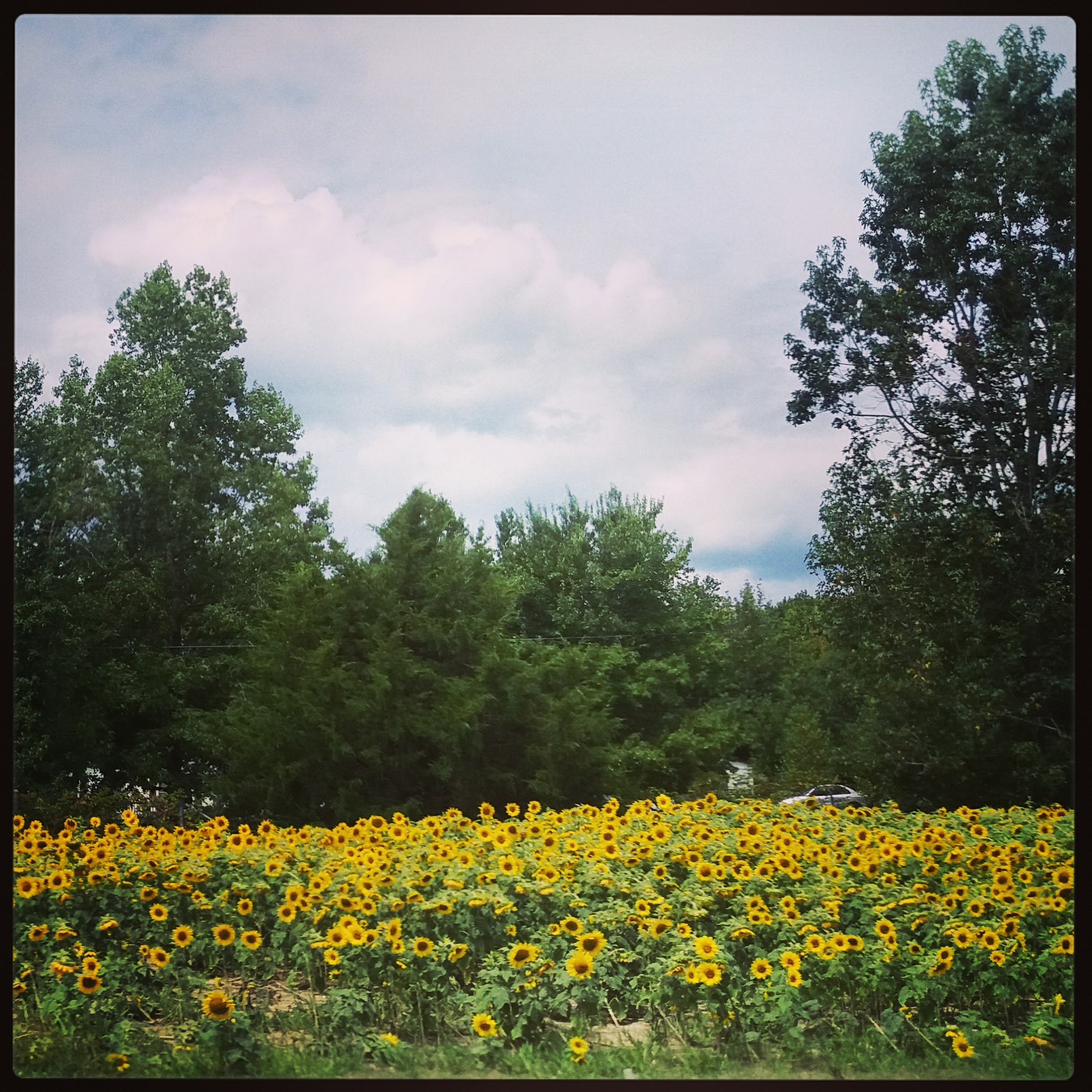 Sunflowers on the side of the road (Georgia?)